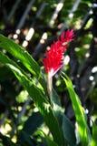 Red ginger blooming in garden. Red ginger blooming in botanical garden, Bangkok, Thailand Stock Image