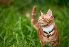 Beautiful young ginger red tabby cat looking at peace in a patch long green grass royalty free stock photography