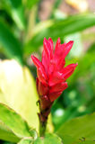 Red Ginger Closeup. Closeup of the Red Ginger Flower Stock Images