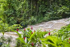 Red ginger cones in front of Mahoe Falls in Konoko Gardens, Jamaica royalty free stock photo