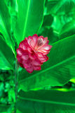 Red Ginger Flower Royalty Free Stock Image