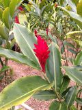 Red ginger flower. Flowering red ginger tropical Royalty Free Stock Image