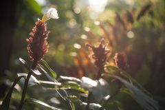 Red Ginger flower in forest at sunrise. Indian Head red Ginger flower or Zingiberales in wild forest against sunrise light with greenery bokeh background. Spring royalty free stock photos