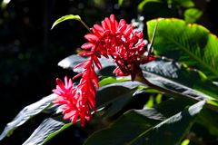 Red ginger flower - tropic plant in rainforest stock photos