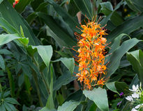 Red ginger lily Flower Hedychium coccineum Tara Stock Photography