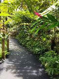 Red Ginger Plant and Plant Canopy Shade. Big Island, Papikou, Hawaii Stock Photography