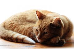 Red ginger tabby cat resting on a wooden surface royalty free stock photos