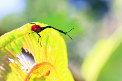 Red Giraffe Weevil Royalty Free Stock Photo