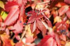 Red girlish grape leaves on blurred foliage background close up, autumn golden leaves pattern macro, warm fall sunny day. Nature image,  Parthenocissus royalty free stock photo