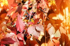 Red girlish grape leaves on blurred foliage background close up, autumn golden leaves macro, warm fall season sunny day nature royalty free stock image