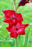 Red gladiola Stock Image