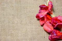 Red gladiola flower stock photo
