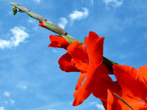 Red Gladiolas. Looking upward at red gladiolas against a blue sky Stock Photo
