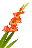 Red Gladiolus. Red beautiful gladiolus isolated on white background royalty free stock images