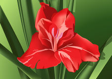 Red gladiolus. Flower of red gladiolus on a green background Stock Images
