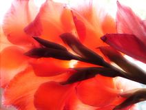 Red Gladiolus Stock Photos