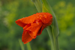 Red gladiolus bud in the garden Royalty Free Stock Images