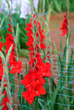Red Gladiolus flower in field. Representation to Splendid Beauty and promise. And have some space for write wording Stock Photos