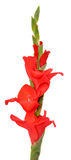 Red Gladiolus flower, isolated Stock Photography