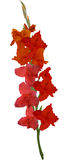 Red gladiolus flower isolated on white. Illustration with gladiolus flower isolated on white background Stock Image
