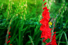 Red  Gladiolus flower and yellow butterfly  in field. Representation to Splendid Beauty and promise. Royalty Free Stock Photo