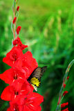 Red  Gladiolus flower and yellow butterfly  in field. Representation to Splendid Beauty and promise. Royalty Free Stock Images