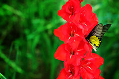 Red  Gladiolus flower and yellow butterfly  in field. Representation to Splendid Beauty and promise. Stock Photos