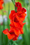Red gladiolus flowers. In a summer garden Stock Image