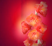 Red Gladiolus Flowers on Texture Background Stock Photos