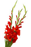 Red gladiolus flowers Royalty Free Stock Images
