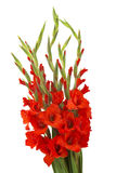 Red gladiolus flowers Royalty Free Stock Image