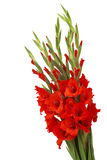 Red gladiolus flowers Stock Image
