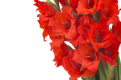 Red gladiolus flowers Stock Photography