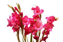 Red gladiolus isolated Royalty Free Stock Image