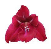 Red gladiolus Royalty Free Stock Image