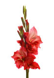 Red gladiolus Royalty Free Stock Photo