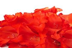 Red gladiolus isolated on white Stock Image