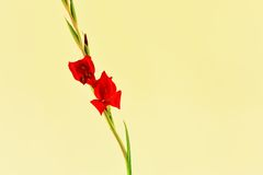 Red Gladiolus Spike Stock Images