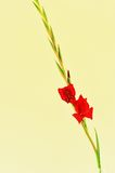 Red Gladiolus Spike Stock Photos