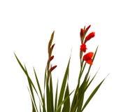 Red Gladiolus Stock Photo