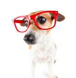 Red glasses dog with a guilty look pressed ears Royalty Free Stock Photo