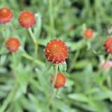Red Globe Amaranth or Red Bachelor Button flower in garden Royalty Free Stock Photos