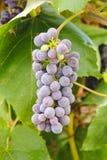 Red Globe Grape Stock Image
