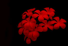 Red Glorious frangipani Royalty Free Stock Photos