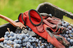 Red gloves and old secateurs in a dirty crate with Merlot clusters Royalty Free Stock Photos