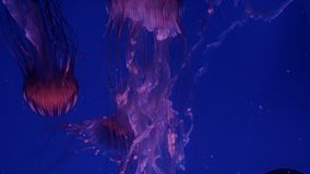 Red glowing jellyfish moving in the dark blue water.