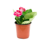 Red Gloxinia (Sinningia) with drips in a pot on white Stock Images
