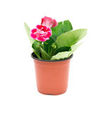 Red Gloxinia (Sinningia) in a pot on white background Stock Photography