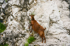 The red goat. Red goat grazing on a mountain cliff, Montenegro, landscape Stock Image
