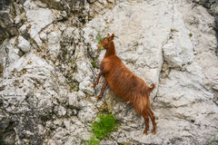 The red goat. Red goat grazing on a mountain cliff, Montenegro, landscape Stock Photos